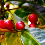 Scrop COFFEE ROASTERS パナマ視察